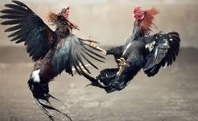 Cara Daftar Judi Sabung Ayam Online Di Situs S128